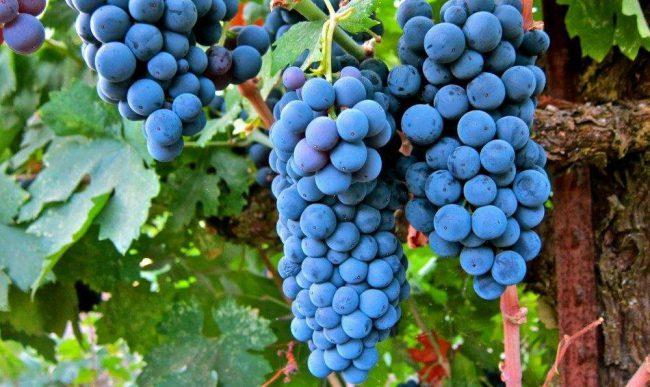 Фото - Учёные выяснили, что из винограда можно создать эффективный антидепрессант