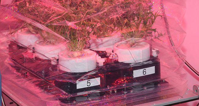 Фото - NASA вырастит на МКС «космическую капусту»