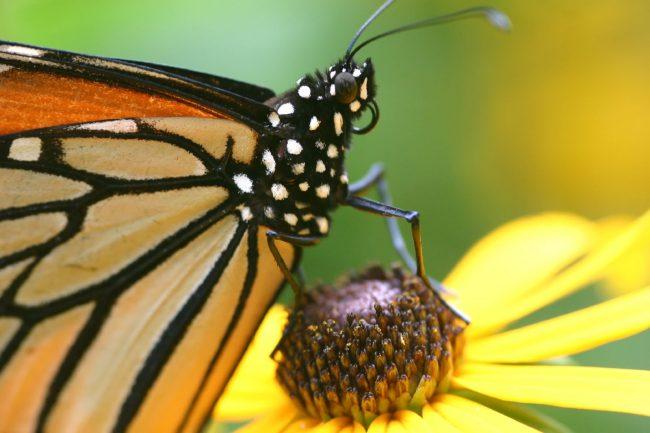 Фото - Ученые случайно нашли останки самой старой бабочки или мотылька