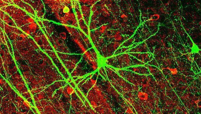 Фото - Классическое представление о работе нейронов мозга оказалось ошибочным