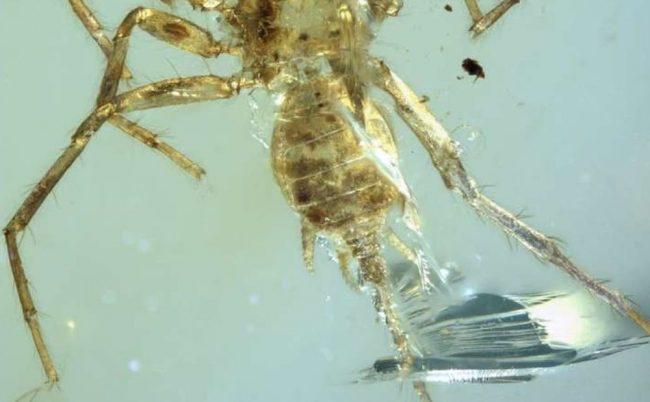 Фото - Учёные обнаружили в куске янтаря вымершего паука-химеру