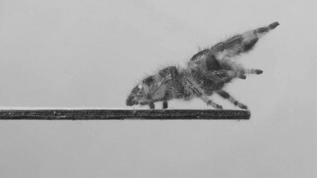 Фото - Ученые научили паука прыгать, чтобы затем научить роботов